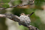Other flycatchers, wood-pewees