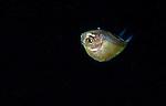 Damselfish larva, Pomacentridae sp, Gulfstream Current, SE Atlantic Ocean, Florida, black water dive