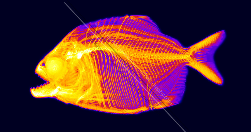 A Red-bellied piranha (Pygocentrus nattereri) is x-rayed to show the placement of bones. The image is colored.