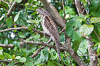 Papuan Frogmouth, Daintree River, Queensland, Australia