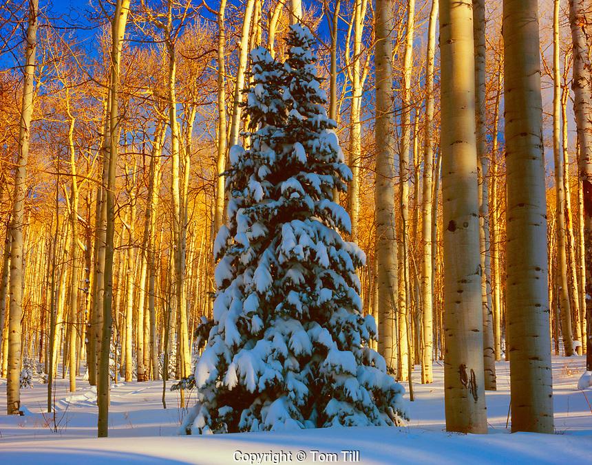 Snow Covered Douglas Fir Tree in Aspen Forest, La Sal Mountains, Manti-La Sal National Forest, near Moab, Utah
