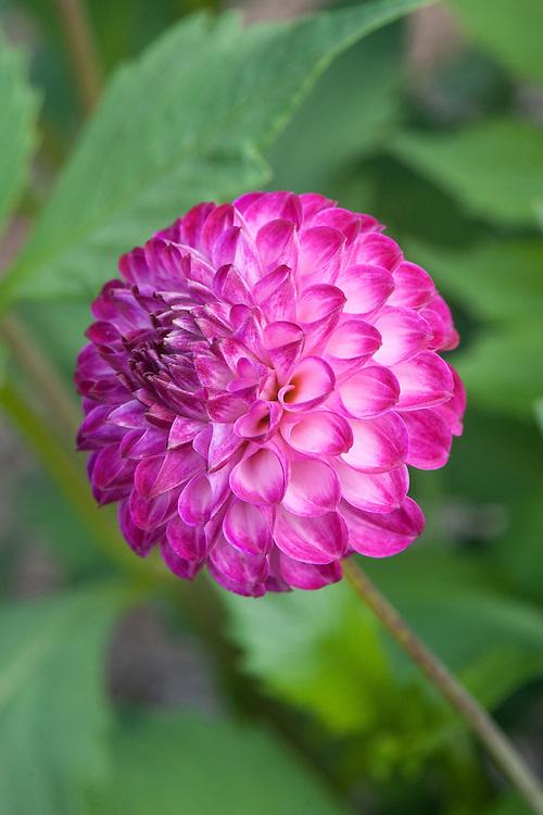 Dahlia 'Camelia', early September. A pink Small Ball, Pompom or Pompon Group dahlia.