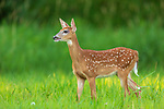 White-tailed fawn in a summer field.