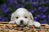Bob, ANIMALS, REALISTISCHE TIERE, ANIMALES REALISTICOS, dogs, photos+++++,GBLA4322,#a#, EVERYDAY