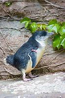 Little Penguin (Eudyptula minor) (c) (do) Smallest of all penguins. Range: Eastern and Southern Australia.