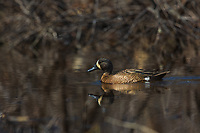 Drake blue-winged teal swimming on a northern Wisconsin lake.