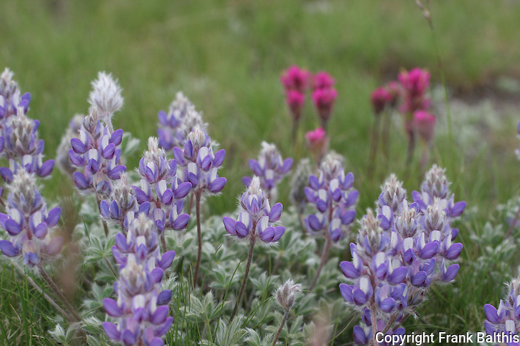 Lupine and paintbrush in Tuolumne Meadows