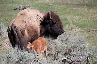 Bison calf nursing. Nicely composed and great perspective. Try darkening the midtones just a bit in levels and see what you think?
