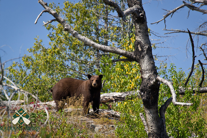 &quot;BWCA Brown-Phase Black Bear&quot;<br />