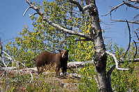 """BWCA Brown-Phase Black Bear""<br />