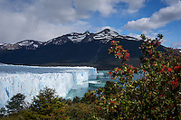 Flowering Pohutukawa Trees near Perito Moreno Glacier in Los Glaciares National Park, Argentina