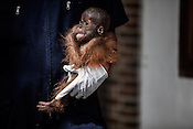 1 year old Orang-utan, Gokong seen in the arms of his caretaker, Arista Ketaran at the Batu Mbelin Quarantine Centre for Orang-utan in Deli Serdang district in Sumatra, Indonesia.
