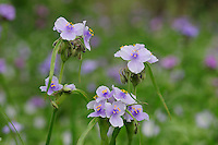 Prairie Spiderwort (Tradescantia occidentalis), blooming, Palmetto State Park, Gonzales County, Texas, USA