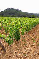Domaine Clos Marie. Pic St Loup. Languedoc. Experimental vineyard with 9000 vines per hectare. France. Europe. Vineyard.
