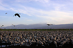 Israel, Upper Galilee, Cranes at the Hula lake, Mount Hermon is in the background