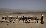 World Water Day. A Berber woman takes his herd of donkeys to drink at a well in the desert, Morocco.