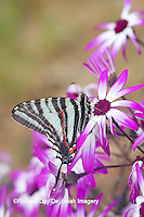 03006-002.01 Zebra Swallowtail (Eurytides marcellus) on Cineraria 'Senetti Magenta Bicolor' (Pericallis) Holmes Co. MS