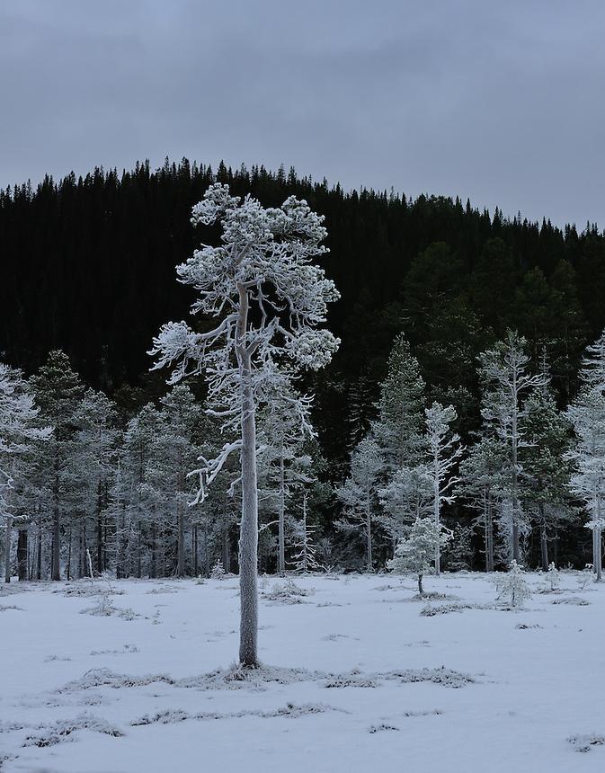 Rimfrost på furu, Pinus sylvestris, Landscape, landskap,