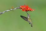 Black-chinned Hummingbird at Ocotillo Flower