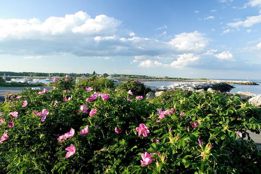 Sea roses (rosa rugosa) at Rye Harbor, New Hampshire. Photograph by Peter E. Randall