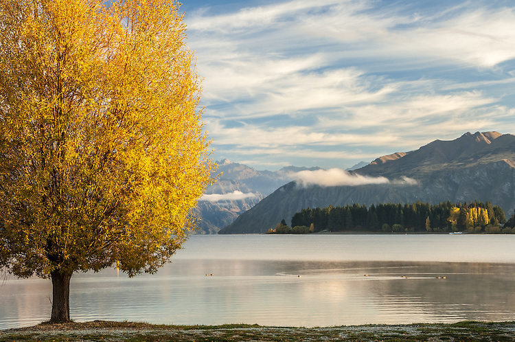Yellow poplar on the shore of Lake Wanaka in Autumn, South Island, New Zealand