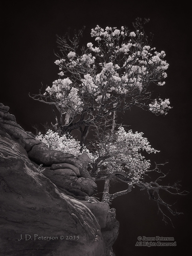 Ridgetop Trees, West Fork, Oak Creek Canyon (Infrared)