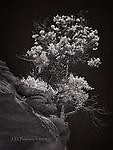 Ridgetop Trees, West Fork, Oak Creek Canyon (Infrared)
