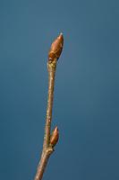 Hainbuche, Hain-Buche, Weißbuche, Weissbuche, Knospe, Knospen, Carpinus betulus, Common Hornbeam, Hornbeam, bud, buds, Charme commun, Charmille