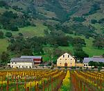 Regusci Vineyards, Wild Mustard, Sinapis arvensis, Napa Valley, California