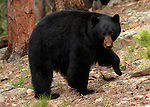 Bear Dance<br /> This big black bear really put on a show for us near our home here in Coal Creek Canyon, Colorado