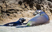 Hawaiian monk seal mother and child lounging on the beach at Turtle Bay