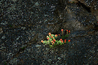 Indian Paintbrush growing in rock outcrop. Kings Canyon National Park, California