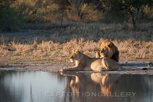 Lion and lioness at Chitabe Camp, Okavango Delta, Botswana.