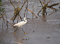 Egret along the shore line and Mangrove rehabilitation, Bac Lieu, Vietnam