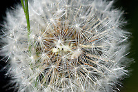 A close up photograph reveals the intricacies of a seed head dandelion.