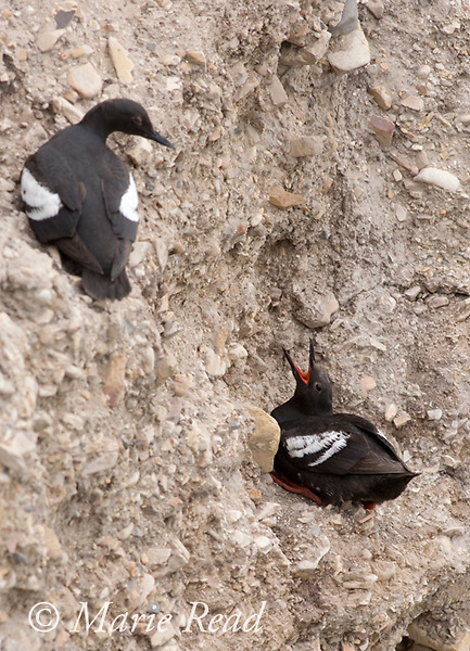 Pigeon Guillemots (Cepphus columba), two interacting on a cliff face, Montana De Oro State Park, California, USA