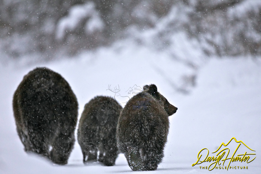 Grizzly sow 399 and two cubs in snowstorm