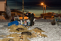 Aaron burmeister cares for his dogs at dawn in Kaltag durng Iditarod 2008