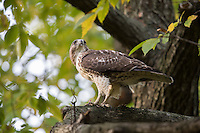 Red-tailed Hawk (Buteo jamaicensis borealis), Eastern subspecies, juvenile eating a rat in New York City's Central Park in the fall.