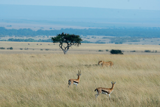 A lioness (Panthera leo) is walking through the grassland of the Masai Mara National Reserve in Kenya, carefully watched by Thomsons gazelles (Eudorcas thomsonii).
