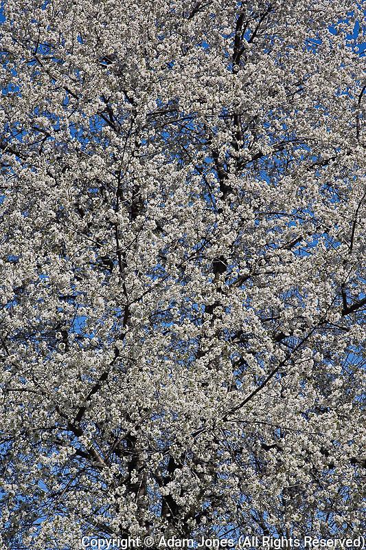 Cherry Tree in full bloom, Louisville, Kentucky