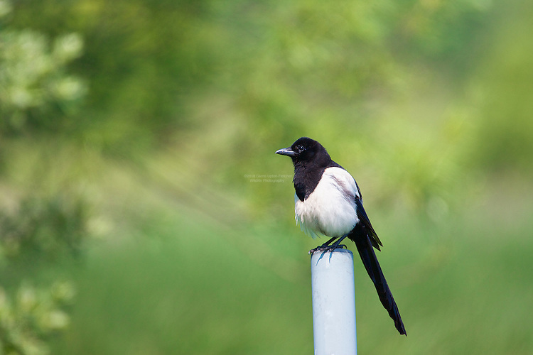 Magpie fledgling (Pica pica), Sitting on a post, Marton Mere, Blackpool, Lancashire, UK. Despite the wrongful ideas that Magpies are the downfall of UK songbirds, this bird is key in cleaning up, or scavenging, and controlling pests. More of an issue than Magpie predation for songbirds, is the loss of habitat for British songbirds, through intensive farming methods. Jays are responsible for eating probably just as many song bird nestlings as Magpies. Magpies own nestlings are predated upon by others.