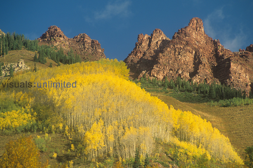 Stand or clone of Aspens in fall colors ,Populus tremuloides, Rocky Mountains, White River National Forest, Colorado, USA.