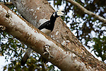 A Palawan Hornbill is seen in a tree along the Kinabatangan River on Monday April 29th in Bilit, Malaysia. (Photo by Brian Garfinkel)