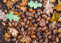 BNPS.co.uk (01202 558833)<br /> Pic: PhilYeomans/BNPS<br /> <br /> The forest floor is thick with acorns this year.<br /> <br /> Pigging Out...A glut of acorns in the New Forest this year has led to a welcome extension to the Pannage season...if you are a pig that is.<br /> <br /> Pannage normally ends in mid November, when the fattened pigs are converted into Christmas bacon.<br /> <br /> But after a huge autumn fall of acorns, that are poisonous to the ancient forests famous ponies, the fortunate pigs are being kept out a month longer to hoover up the dangerous fruit.<br /> <br /> But the hot and dry end to this year's summer has led to a bumper crop of the oak tree fruit and the 600 pigs have been given the green light to carry on until December 23.