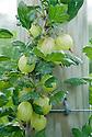 Gooseberry 'Invicta', mid June.