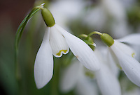 Galanthus, Snowdrops close-up.