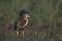Green Heron, Butorides virescens,adult walking crest raised, Lake Corpus Christi, Texas, USA, May 2003