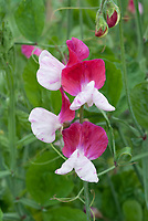 Lathyrus odoratus Little Red Riding Hood
