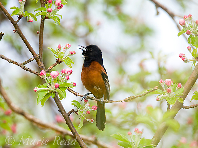 Orchard Oriole (Icterus spurius), male singing in apple tree, Wayne County, New York, USA